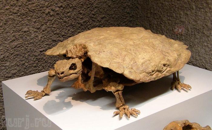 Скелет черепахи